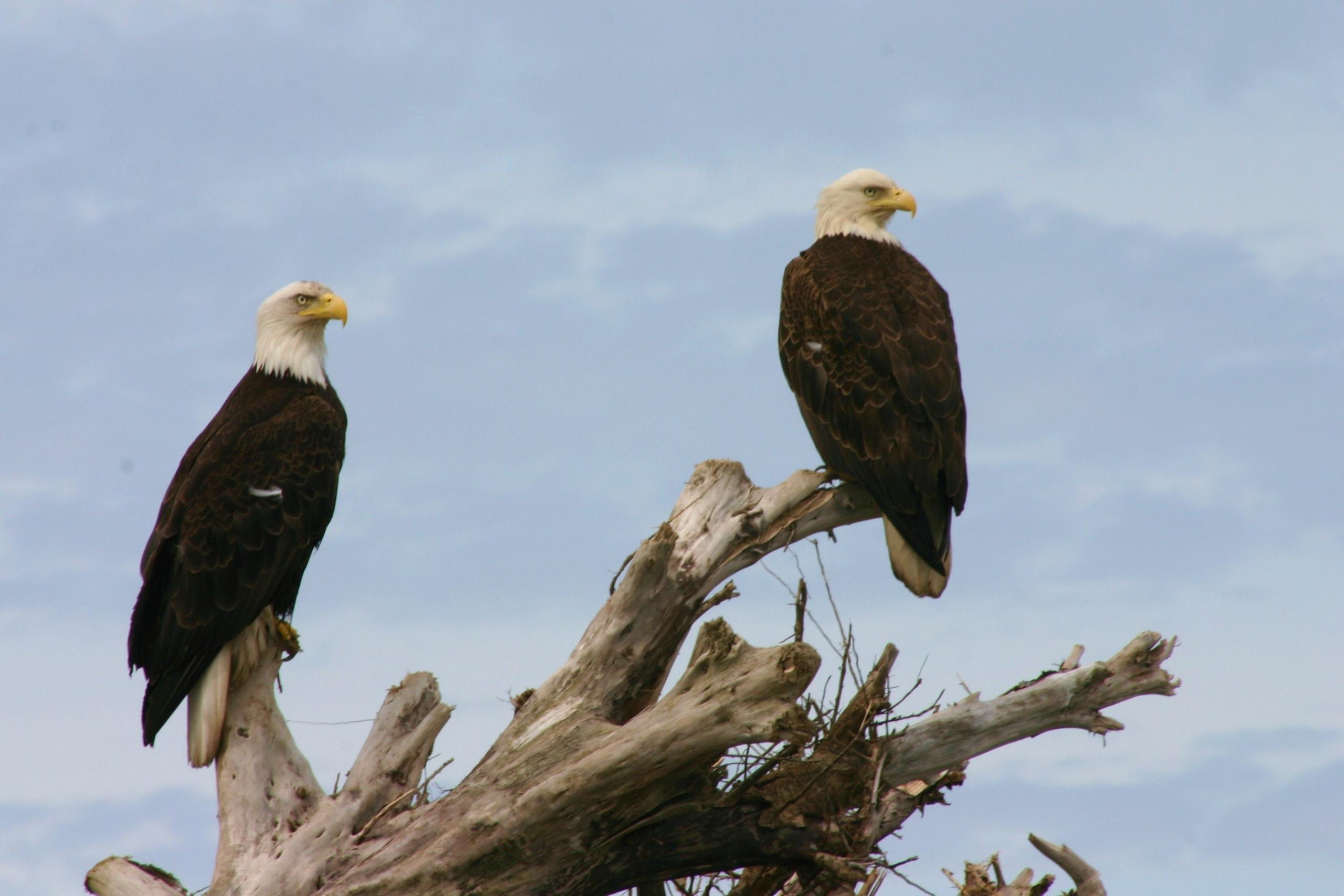 VWW - Eagle
